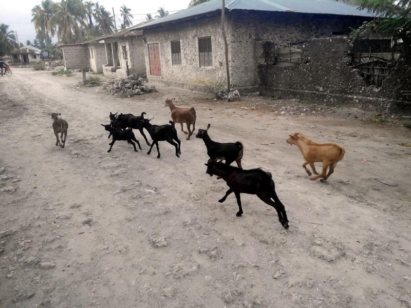 Козы в деревне на Занзибаре