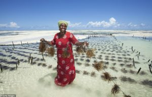 ферма капусты Джамбиани