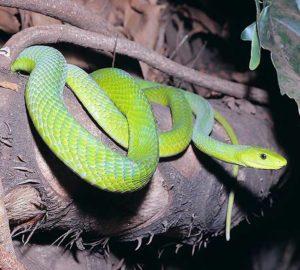 змеи занзибара