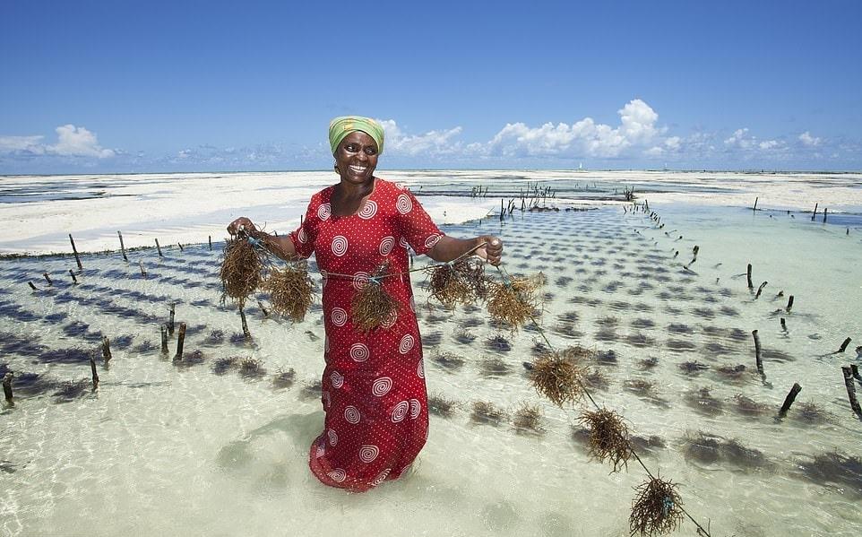Ферма капусты Занзибар