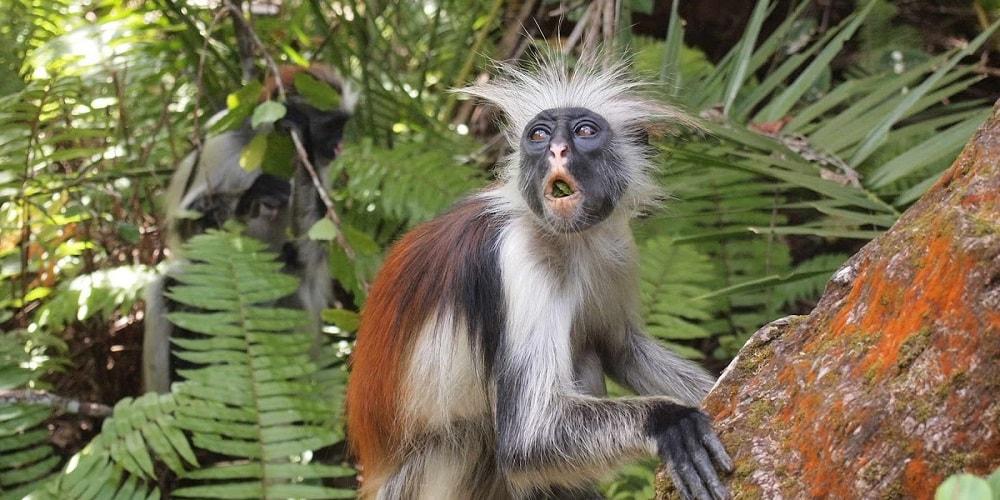 обезьяны на занзибаре