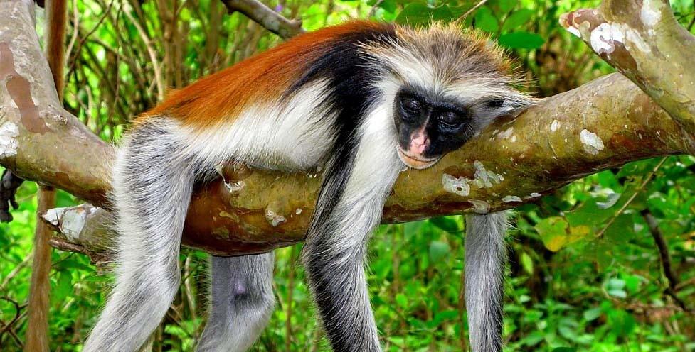 Парк обезьян на Занзибаре